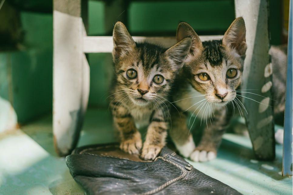 Przyczyną krwi w kale kotka może być choroba pasożytnicza, biegunka, zaparcia a także torbiele, guzki czy polipy.