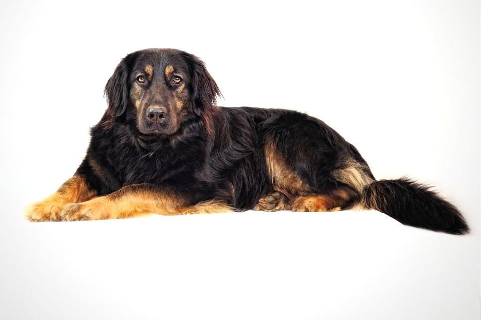 Poznaj Hovawarty, psy, które wzbudzą podziw i zainteresowanie każdego.