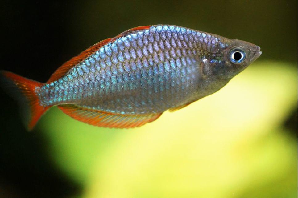 Tęczanka neonowa z jakimi rybami może przebywać ten gatunek ryb?