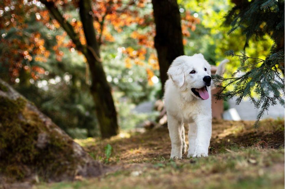 Piękne i śnieżnobiałe, duże psy to owczarki podhalańskie.
