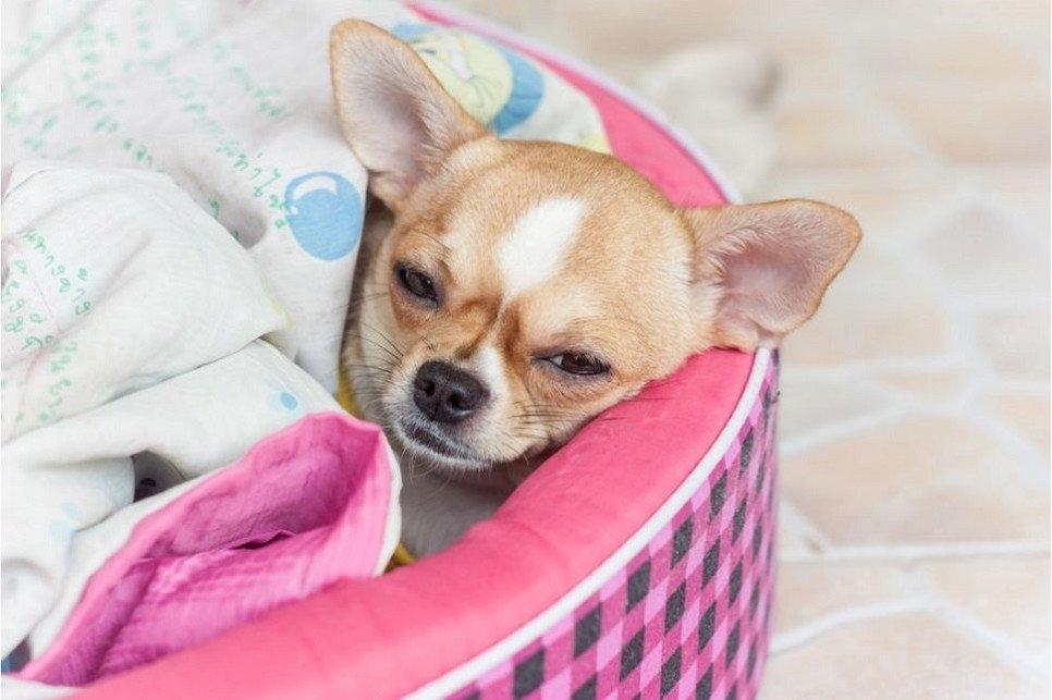 Jak rozpoznać, że psa boli gardło?