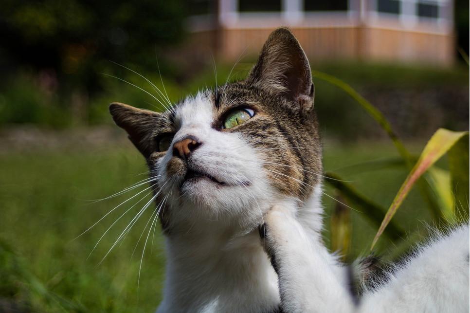 Dlaczego kot się drapie? Świąd u kota - porady weterynarza