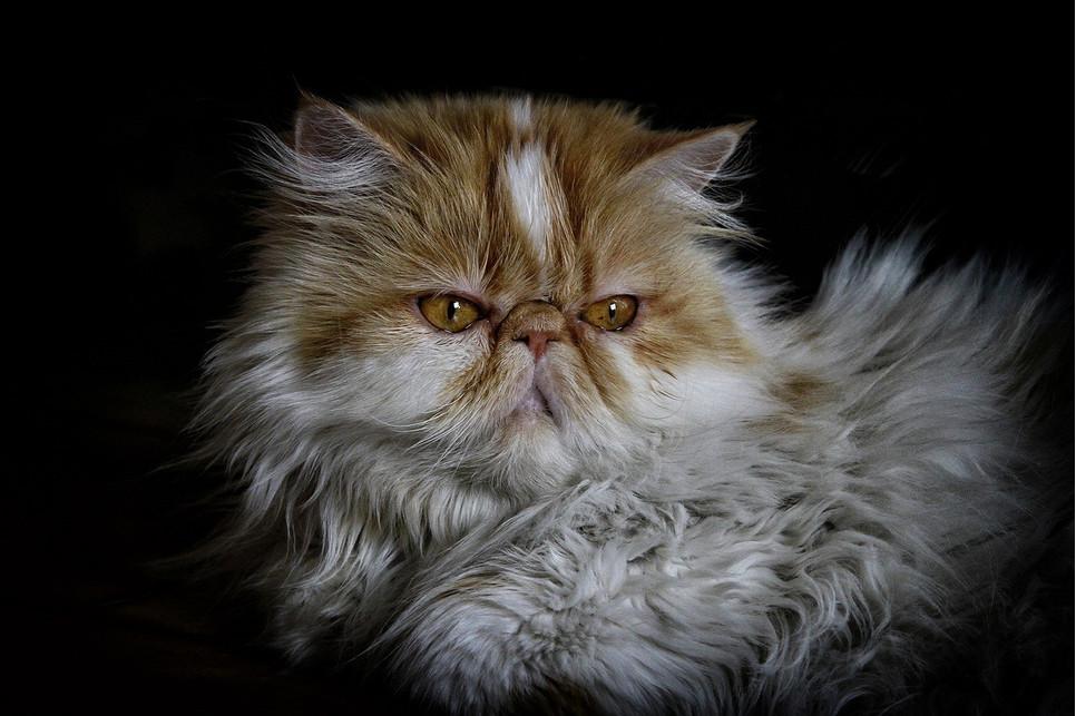 Encyklopedia kotów: kot rasy pers (Persian cat)