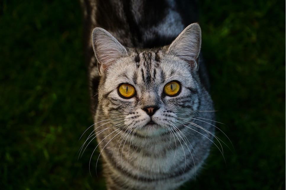Encyklopedia kotów: kot brytyjski krótkowłosy (British Shorthair)