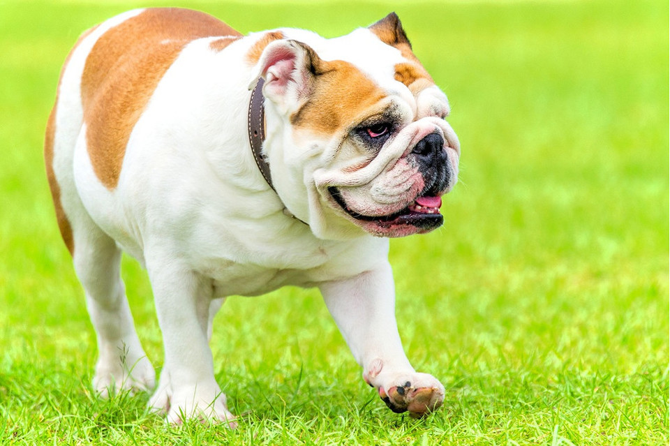 Psy brachycefaliczne - najczęstsze problemy psów z płaskim pyskiem
