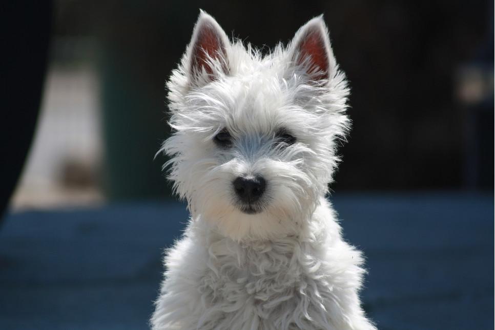Encyklopedia psów: west highland white terrier. Jakie są popularne westy?
