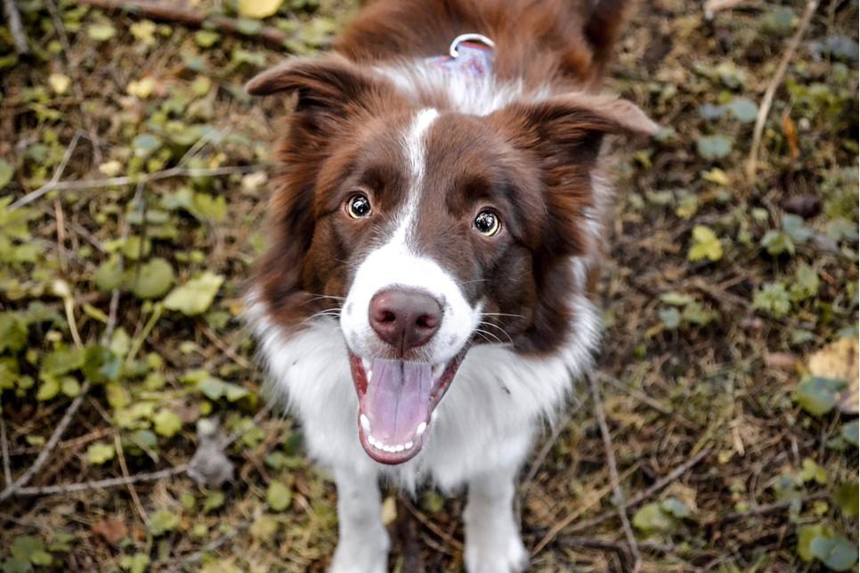 Obroże przeciwkleszczowe, preparaty na kleszcze lub krople - jaki środek wybrać, aby nie dopuścić do kleszcza u psa?