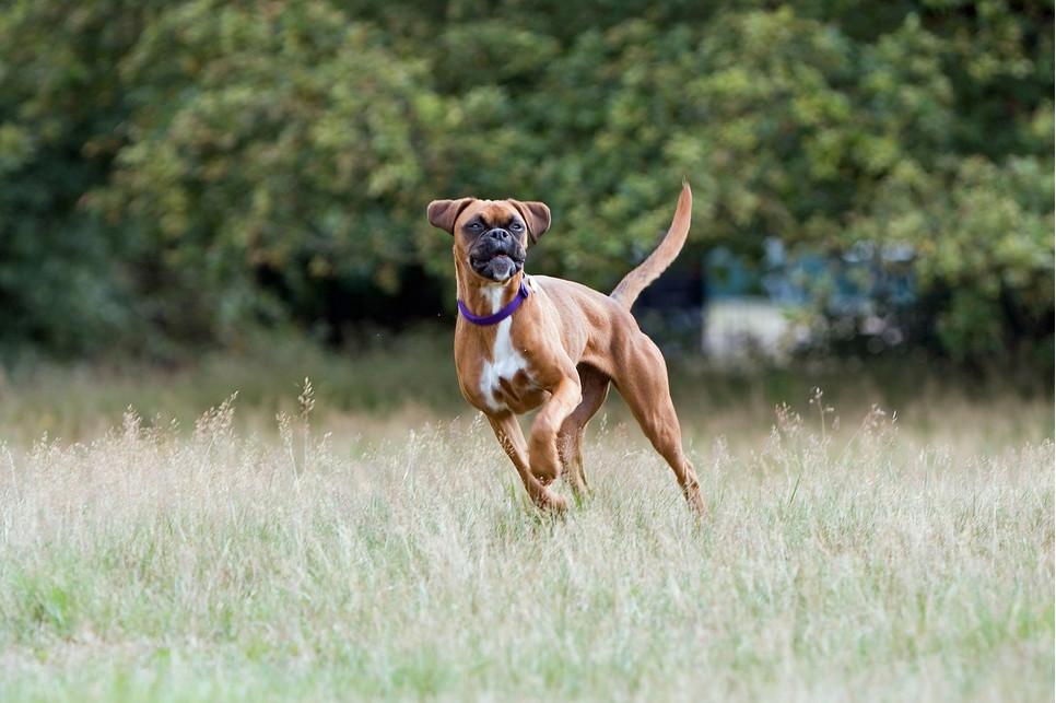 Problemy ze stawami u psów to bardzo bolesna dolegliwość. Jak jej zapobiegać?