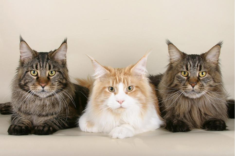 Jedne z największych kotów domowych, czyli Maine Coony mają całą rzesze wielbicieli.
