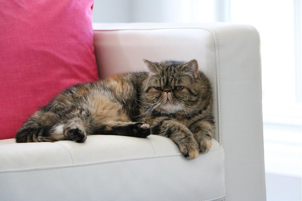 Koty egzotyczne z natury mają łagodne usposobienie, są wesołe, przyjacielskie i bardzo przywiązane do opiekuna.