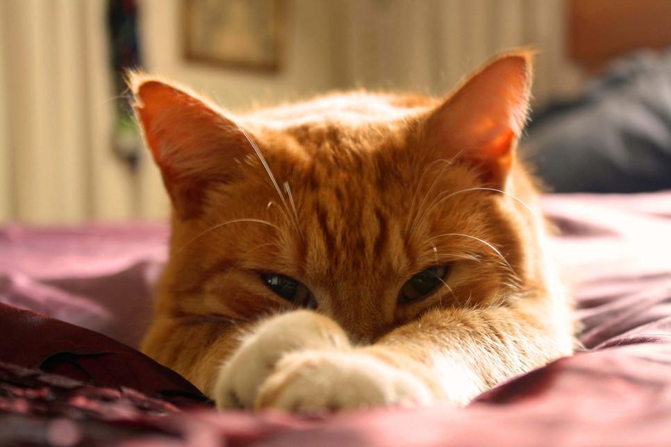 Chłoniak to jeden z najczęściej występujących nowotworów u kotów. Sprawdź, jakie są jego objawy i jak należy go leczyć.