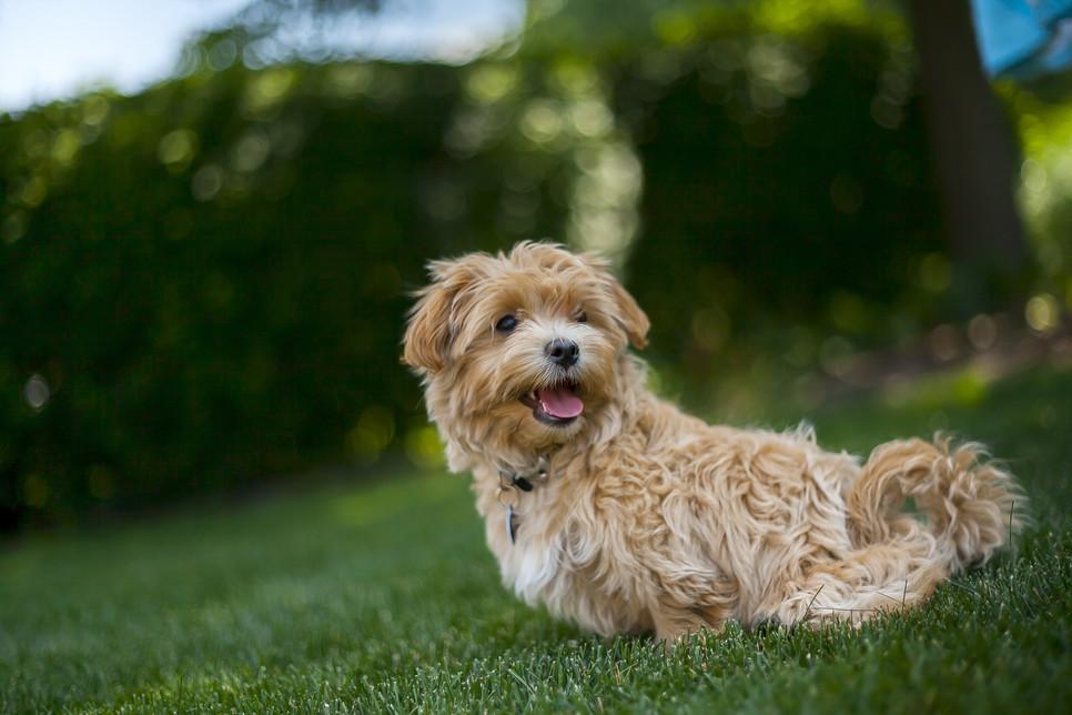 Maltipoo to pies o wyglądzie maskotki. Wymaga odpowiedniej pielęgnacji, wychowania i traktowania.
