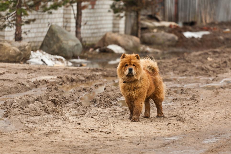 Chow chow to rasa psów wywodząca się z Chin, która charakteryzuje się puszystą sierścią i lekko niebieskim językiem.
