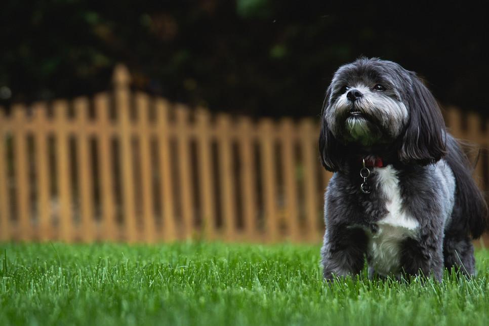 Shih tzu to pies nieduży, ale za to bardzo towarzyski, przyjacielski, o niezwykle radosnym usposobieniu.