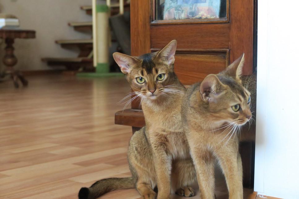 Koty abisyńskie są towarzyskie i wymagają wiele uwagi. Nie wolno o tym zapominać, wybierając czworonożnego przyjaciela.