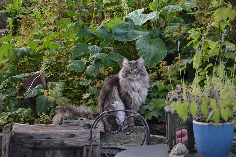 Kot norweski leśny to zwierzę o atrakcyjnym wyglądzie, doskonałej zwinności i dużej adaptacji do zmiennych warunków.