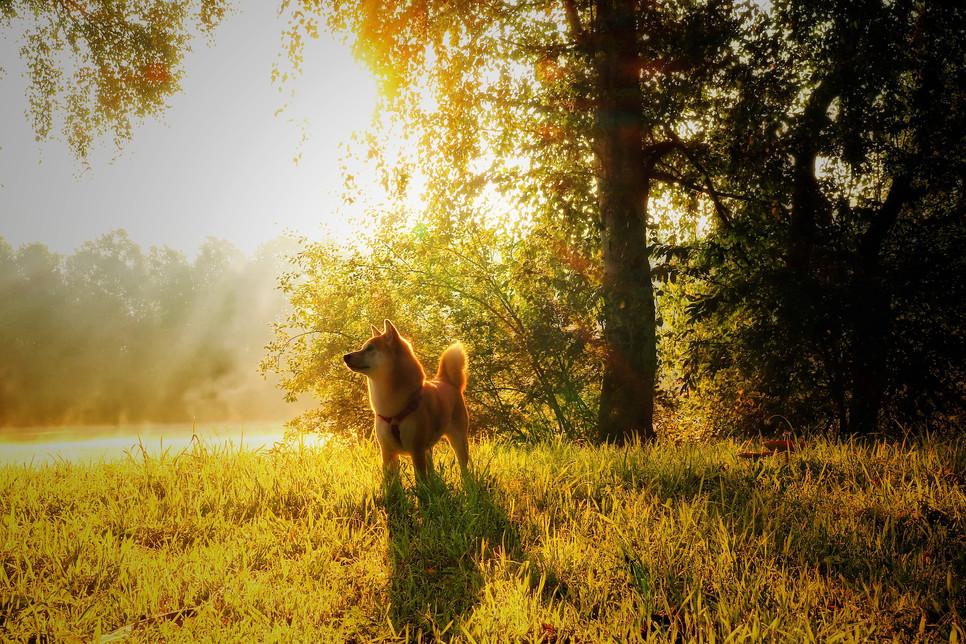Shiba jest psem z Dalekiego Wschodu. To średniej wielkości szpic o silnej budowie oraz gęstym, pluszowym futrze.