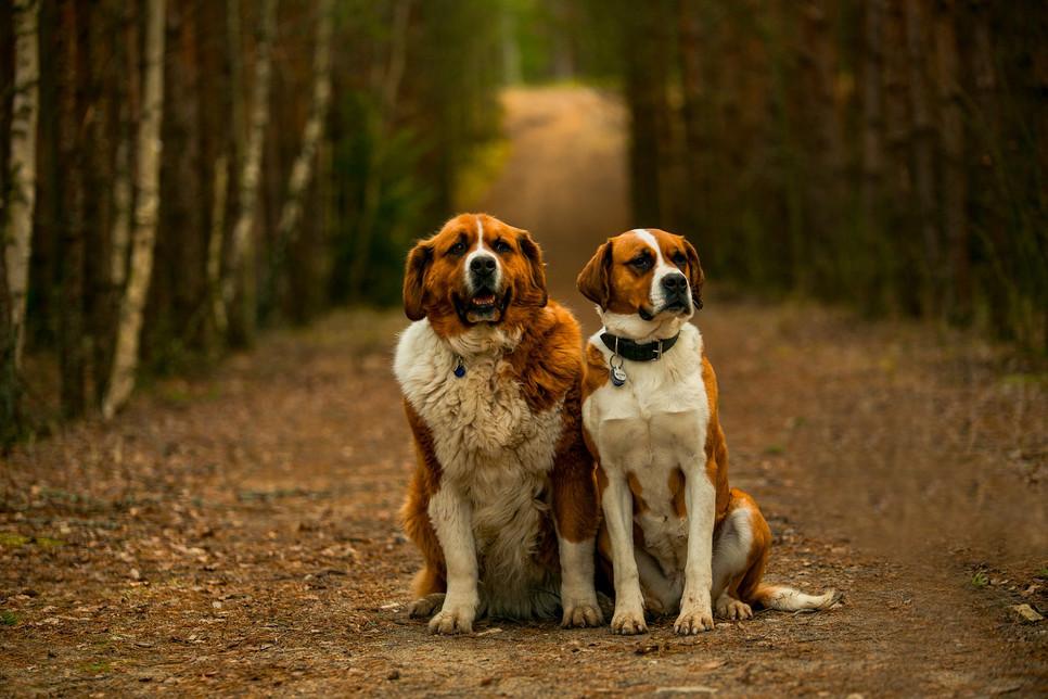 Bernardyn to pies o imponujących rozmiarach, przejawiający średnią aktywność ruchową, czuły, rodzinny i inteligentny.