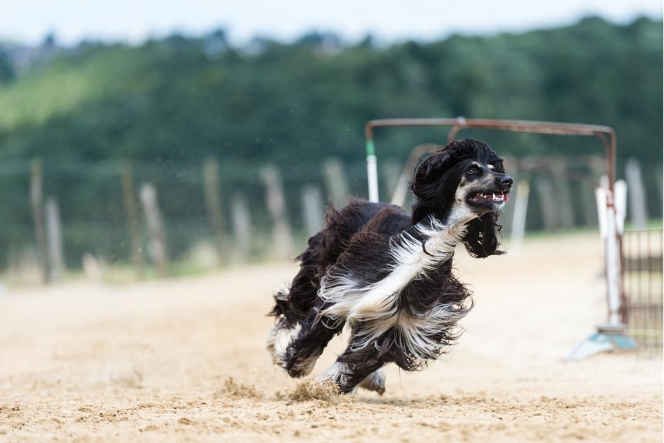 Chart afgański to sporych rozmiarów pies o oryginalnym wyglądzie. Jest niezależny, mało wylewny. Lubi aktywność fizyczną.