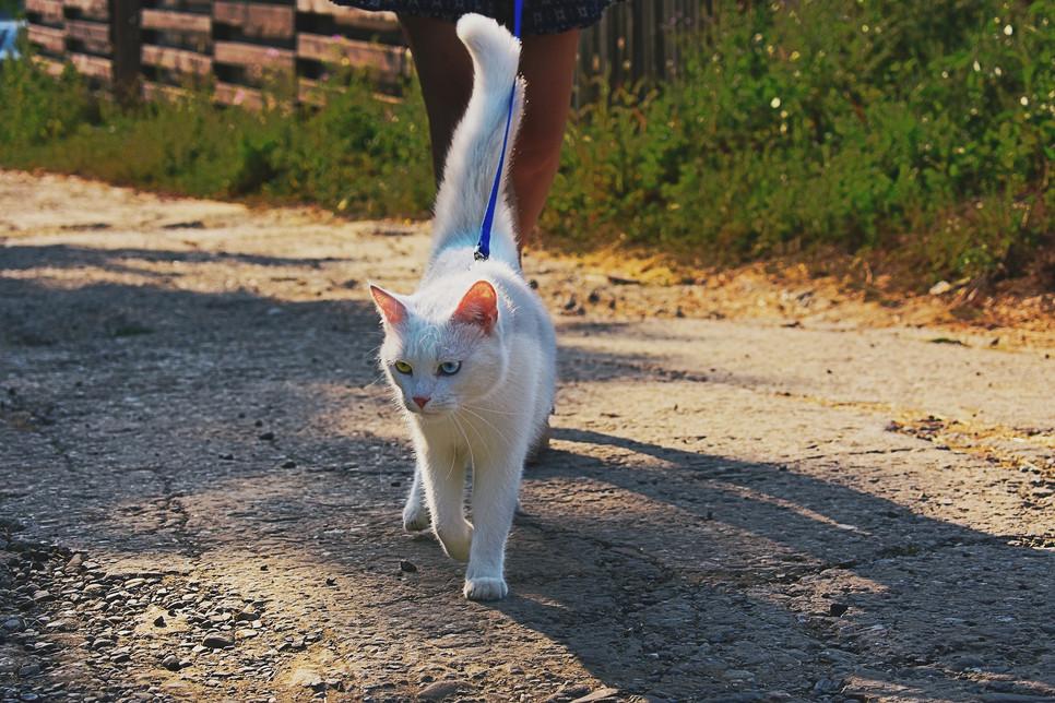 Kot na smyczy to coraz częstszy obrazek. Nauka spacerowania powinna być rozpoczęta za młodu i wymaga cierpliwości.