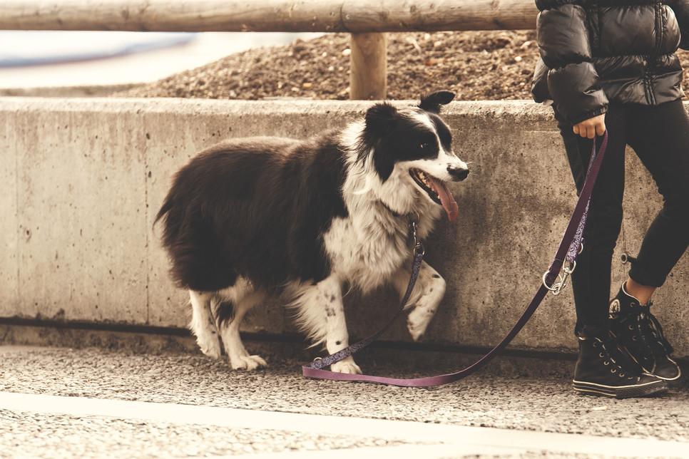 Nauka chodzenia psa na smyczy nie należy do łatwych. Warto jednak podjąć się jej. Pozwoli na spacerowanie bez szarpania.