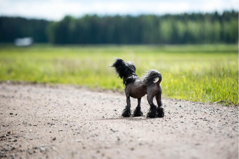 Grzywacz chiński to pies o nietypowym wyglądzie. Jest żywiołowy, wesoły, aktywny, a przy tym posłuszny wobec opiekuna.