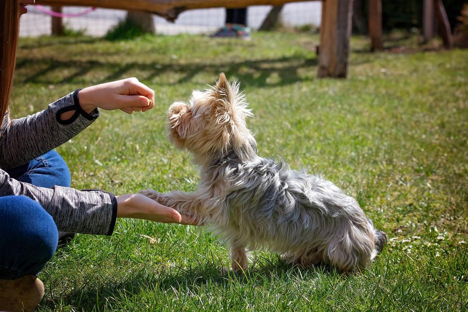 Dzięki komendom nauczy się psa posłuszeństwa. Jest to też sposób na zabawę oraz budowanie więzi.