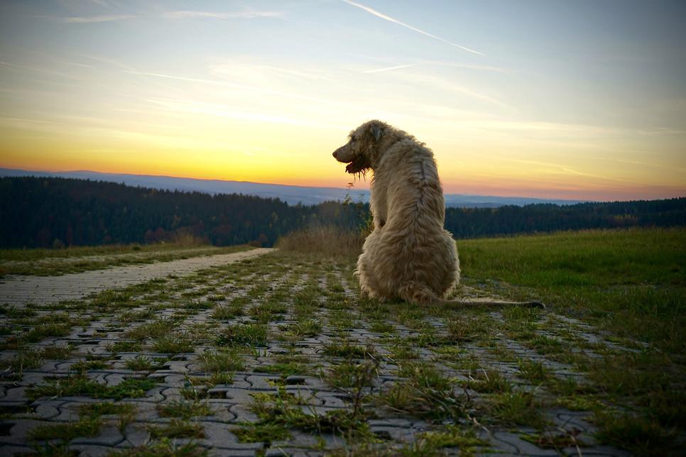 Wilczarz irlandzki, mimo iż jest potężnym i eleganckim psem, cechuje się wrażliwością i oddaniem.