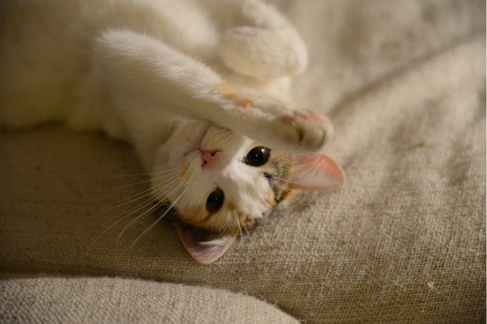 Gdy kot kuleje, należy ustalić przyczynę tego problemu. Może on bowiem oznaczać banalne skaleczenie, ale też nowotwór.