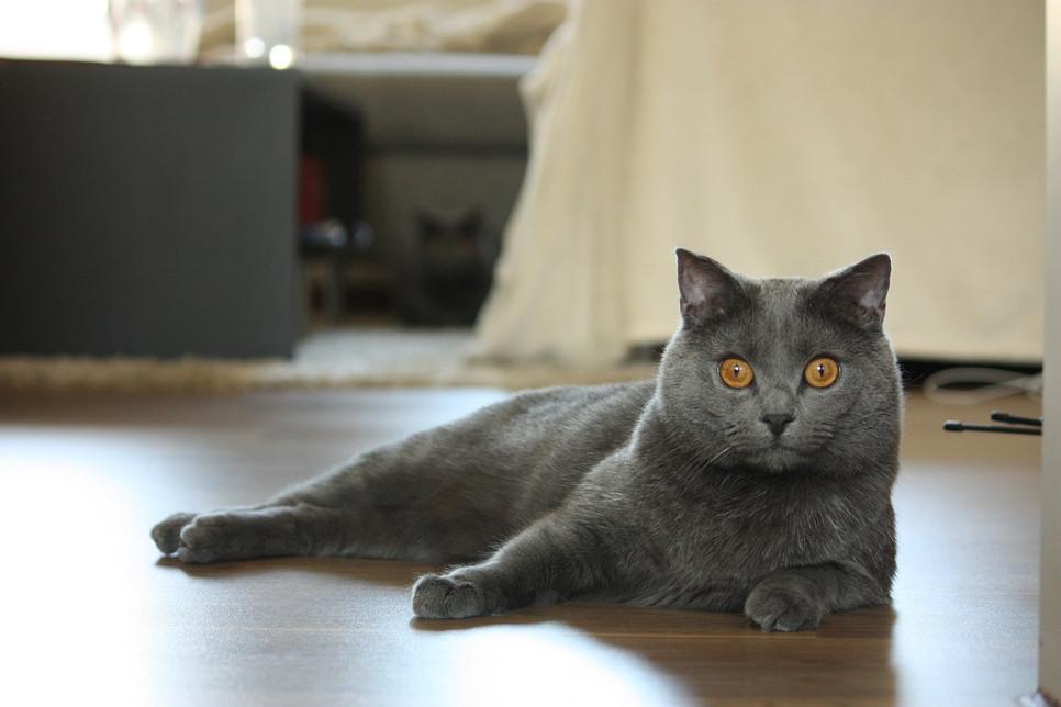 Kot kartuski to rasa inteligentna, łatwo się uczy, lubi zabawę i pieszczoty, mocno przywiązuje się do opiekuna.