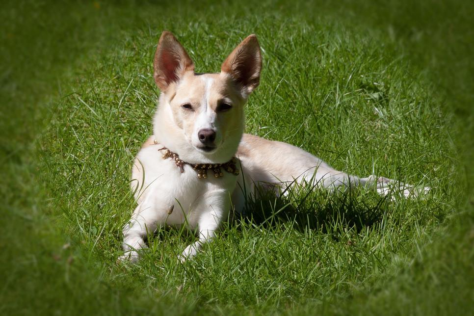 Kolczatka dla psa jest kontrowersyjnym narzędziem treningowym należącym do metod awersyjnych. Skąd się wzięła moda na kolczatki dla psa?