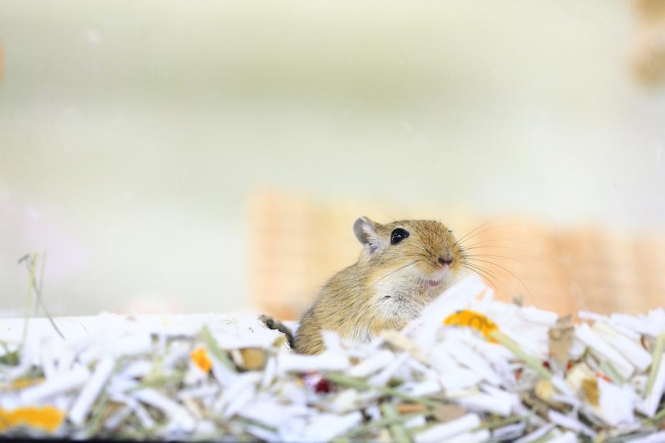 Myszoskoczek jest zwierzęciem stadnym. Dobór odpowiedniej klatki dla takiego stadka jest priorytetem.