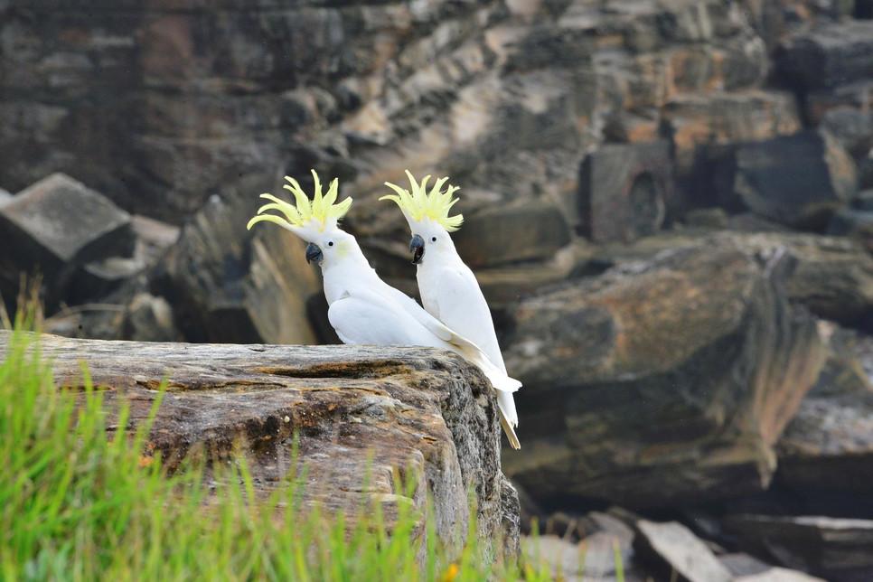 Kakadu to podobno najlepszy ptasi przyjaciel człowieka – czy na pewno? Jak zadbać o tę wyjątkową papugę, aby była szczęśliwa?
