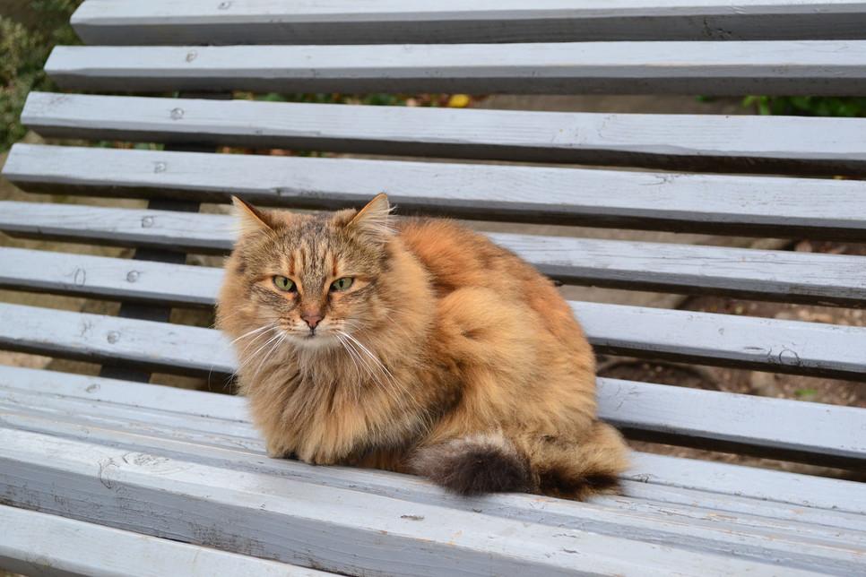 Koty przypominające lisy to półdługowłosi krewniacy kotów abisyńskich. Poznaj wyjątkowe koty somalijskie!