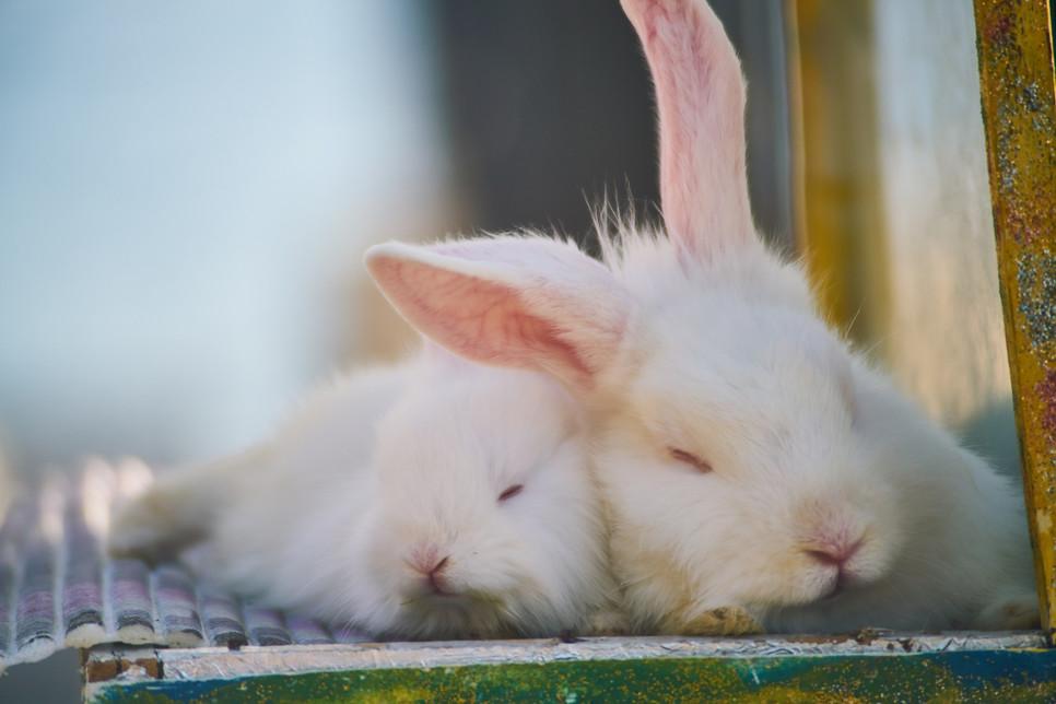 Biegunka u królika może być śmiertelnie niebezpieczna. Co może ją spowodować?