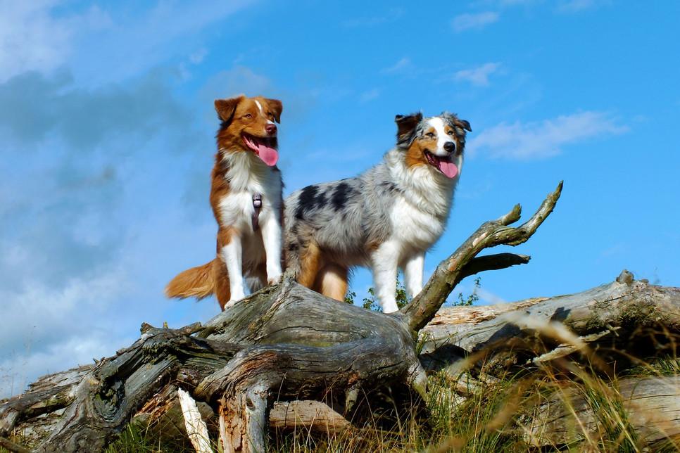 Aussie to żywiołowe psy znane z umaszczenia marmurkowatego i wyjątkowych oczu. Jednak to nie jedyne cechy, jakie wyróżniają owczarki australijskie.