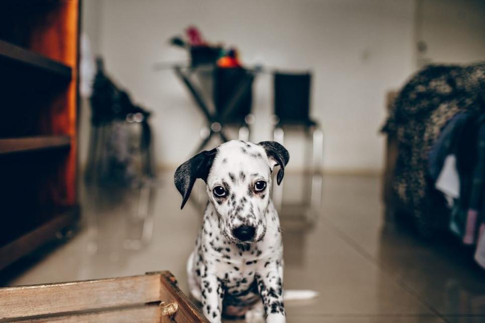 Osowiałość u psa to stan, za który odpowiadać może wiele czynników, w tym m.in. depresja, poważne zranienie i choroba.