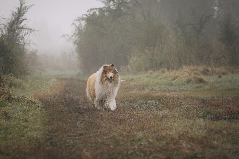 Owczarek szkocki, jako bohater powieści Lassie, był wiernym i rodzinnym psem. Czy taki jest naprawdę? Przeczytaj wszystko o rasie collie.