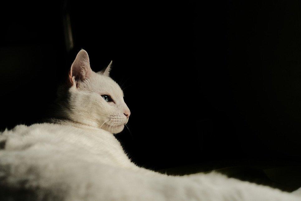 Najdroższy kot świata… niewątpliwym rekordzistą jest ashera. Inne drogie koty to m.in. khao manee, savannah, toyger.