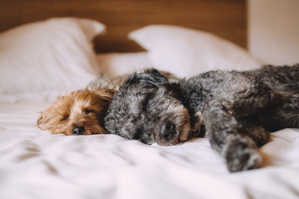 Nie możesz spać przez chrapanie psa? Poznaj przyczyny chrapania psa.