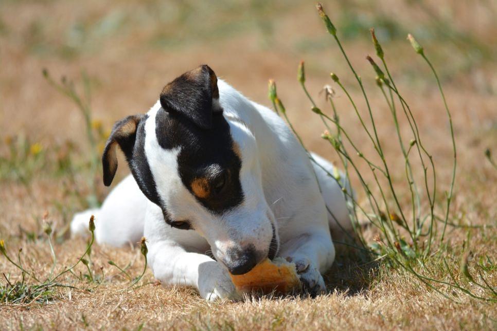 Czy pies może jeść chleb z masłem, a może lepszy jest suchy chleb dla psa?