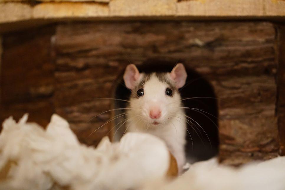 Jeżeli chcesz kupić szczura, przeczytaj artykuł i dowiedz się, jak opiekować się szczurem, ile żyje szczur i dlaczego jest tak wspaniałym gryzoniem!