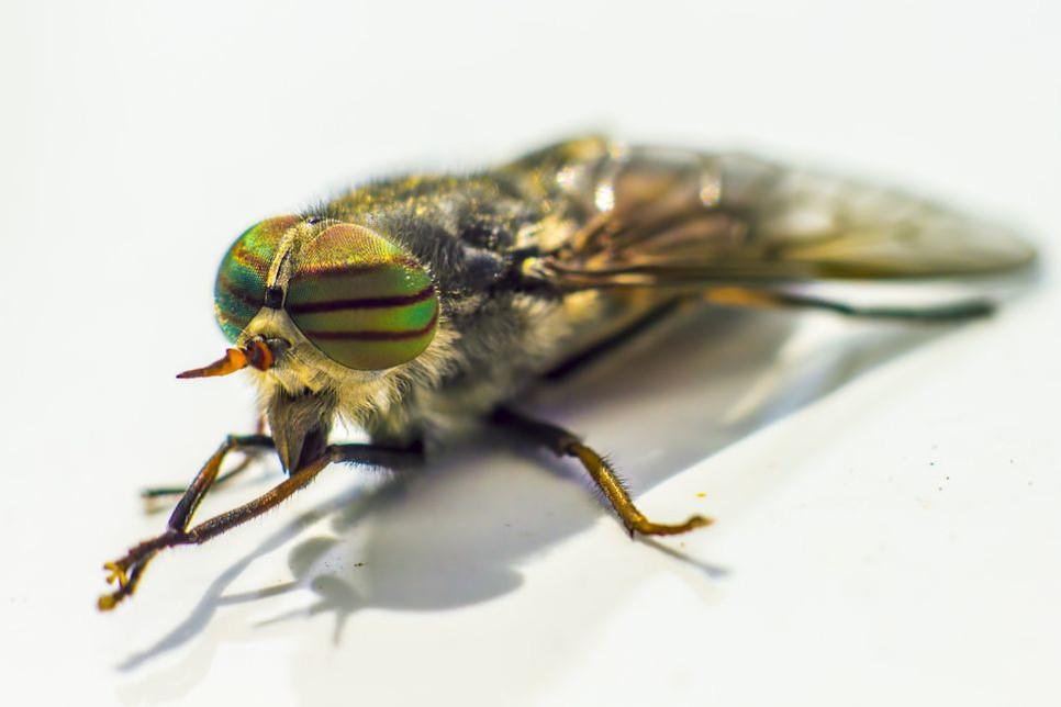 Ugryzienie muchy końskiej bez wątpienia jest bolesne, jednak czy mamy się obawiać o siebie i nasze zwierzęta?