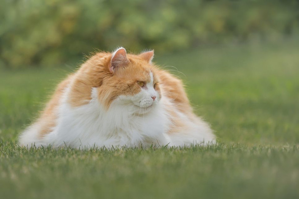 Jakie są najpopularniejsze koty długowłose? Sprawdź ranking najmilszych kotów o długiej i puszystej sierści.