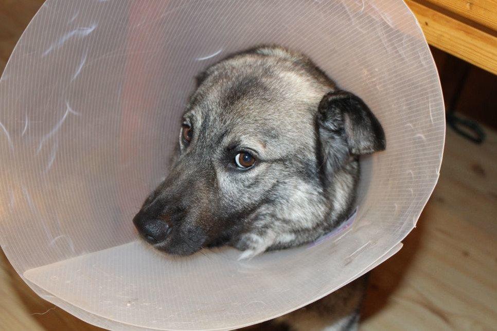 Kaszak u psa to łagodna zmiana nowotworowa, która powstaje w obrębie mieszka włosowego lub gruczołu łojowego.