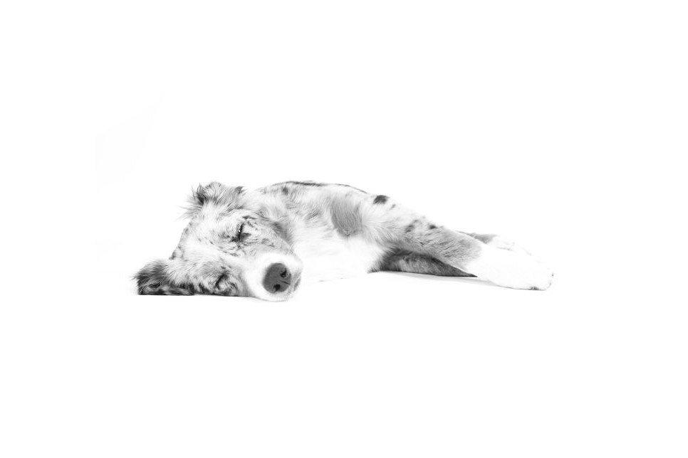 Niedowład u psa okazać się może wynikiem zwykłego przewiania, ale towarzyszy czasem wielu chorobom, np. Padaczce czy neosporozie.