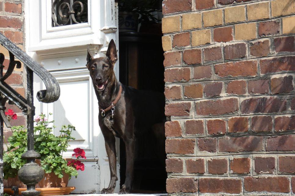Psy stróżujące uważane są za agresywne, porywcze i duże. Niektóre z mitów krążących mogą być krzywdzące, czy na pewno pies stróżujący musi być agresywny?