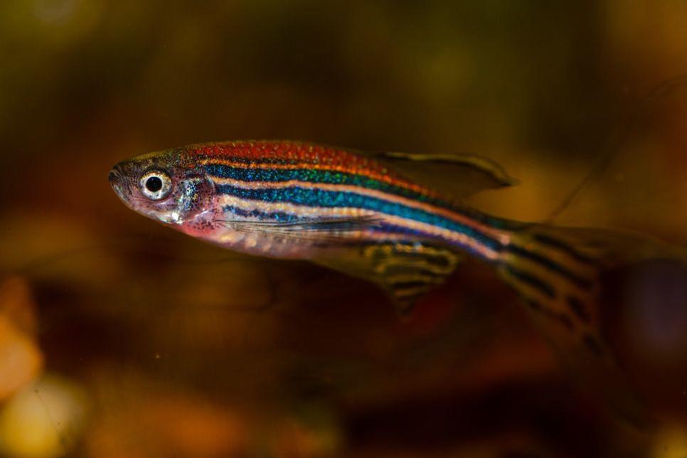 Ryba danio wymagania, rodzaje i cały proces rozmnażania krok po kroku