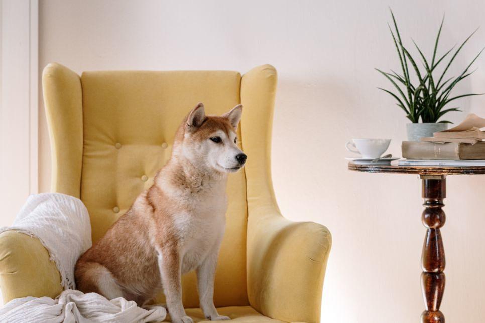 Pies domowy powinien mieć dużą tolerancję na zamkniętą przestrzeń, ograniczoną potrzebę ruchu, być mało szczekliwy.