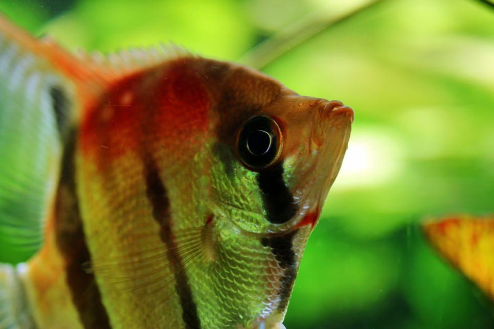 Ryba skalar już dawno skradła serce większości akwarystom, zobacz czy skradnie i Twoje